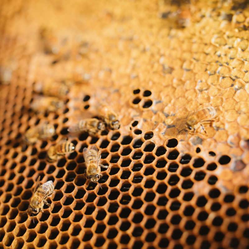 Frame Of Honey With Honey Bees By Manawa Honey NZ, Ruatahuna, Te Urewera, New Zealand