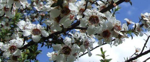 Mānuka Tree Flowers For Honey Bees To Make Mānuka Honey By Manawa Honey NZ, Ruatāhuna, Te Urewera, NZ