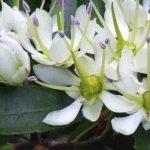 Tawari Flower From Which Tawari Honey By Manawa Honey NZ Is Made By Honey Bees
