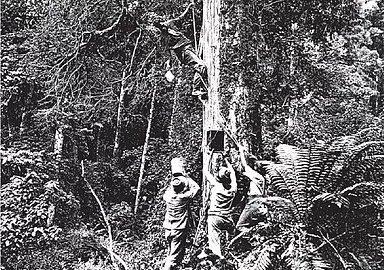 Wild Honey Gathering In Forest Of Te Urewera By Ancestors Of The Ruatahuna People That Set Up Manawa Honey NZ