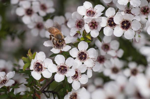 Honey Bee Visiting Manuka Flower For Manuka Nectar For Making Manuka Honey