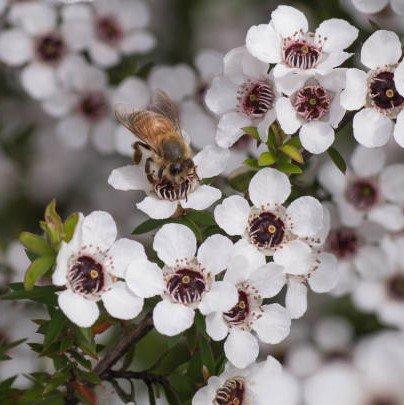 Honey Bee On Manuka Flower By Manawa Honey NZ 2