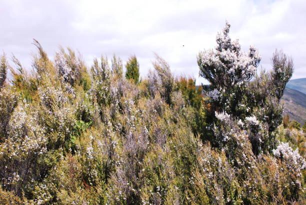 Manuka Trees On Hillside For Making Manuka Honey By Manawa Honey NZ