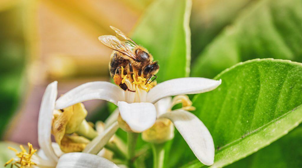 Honey Bee Foraging Nectar On A White Flower