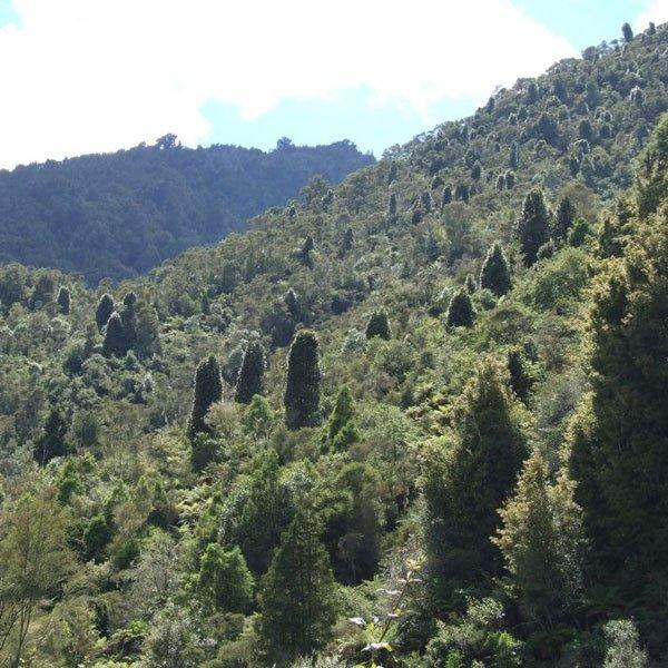 Rewarewa Trees Emerging Through Scrub, Ruatahuna, Te Urewera